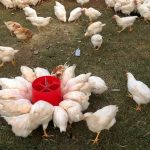 Poultry sector wants chicken imports to end